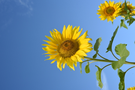Two tall yellow sunflowers in nature set against a blue summer with no clouds. Copyspace area for natural flower designs