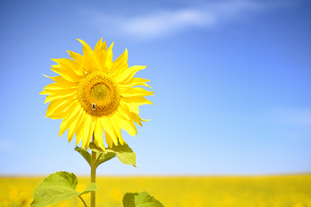 One single yellow sunflower in nature with a blue sky background and many flowers in the distance