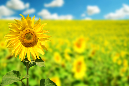 Bright yellow sunflowers in nature with green leaves and a blue sky with white defocused clouds in the background. Copyspace area for gardening or summertime based designs Stock Photo