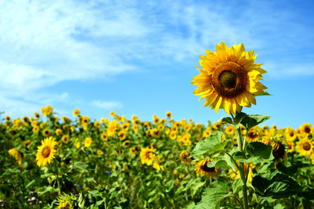 Tall sunflower with a field of flowers behind with a bright blue summer sky and clouds. Landscape composition with copyspace area for floral flower designs.