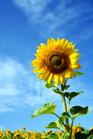 Sunflower in vertical composition with blue summer sky and white clouds with a field of ripe sunflwoers behind