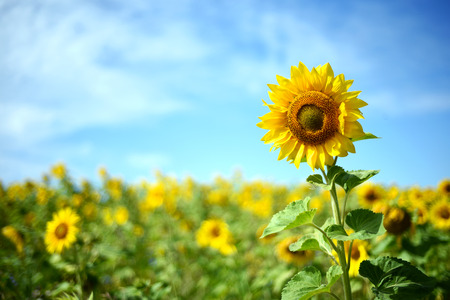 Single tall sunflower with a defocused field of sunflowers in the background copyspace area for botany based designs and elements.