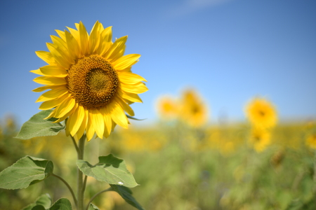 Single yellow sunflower in nature with a field of defocused sunflowers in the background with a natural blue summer sky