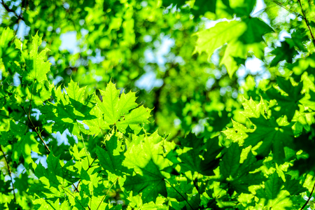 green forest canopy leaves in nature with summer morning golden sulight shining through the foilage