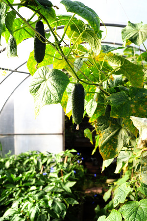 cucumbers: Green cucumber growing on a vine hangs in a greenhouse in natural sunlight with leaf foliage in the background