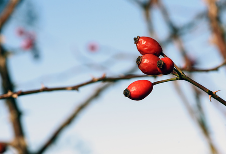 Red rosehips in a hedge in nature in early winter with defocused branches and sky in the background Stock Photo