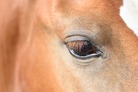 Closeup macro of a brown horses eye with eyelashes and clear pupil