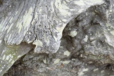 Aged wooden background with worm holes and vintage aging of a natural trunk in nature