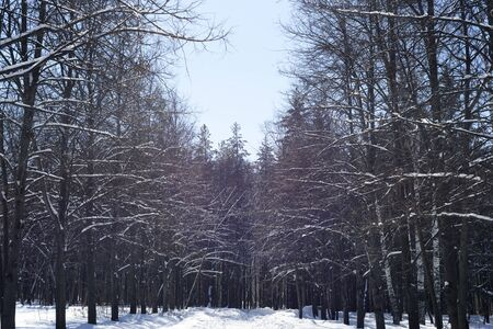 Lines of spruce pine and fir trees in a winter park with fresh snowfall and a clear blue sky, taken during the wintertime