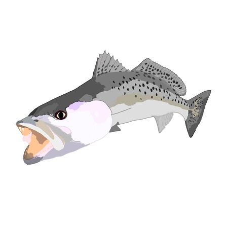 Speckled sea trout