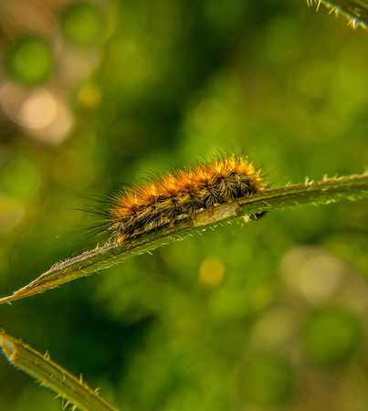 salt marsh: Salt marsh caterpillar Stock Photo