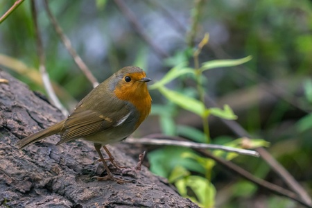 robin: Robin bird