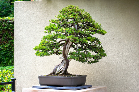 Beautiful, Vibrant, Green Juniper Bonsai Tree with Shibari