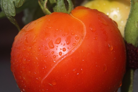 ripe: One very ripe tomato
