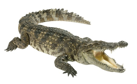 wildlife crocodile from natural now they feed them in the farm and zoo isolates photo
