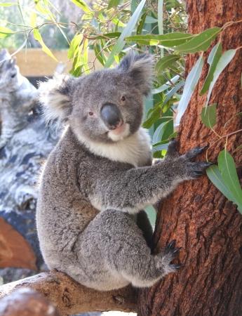 koala bear: pretty koala bear in the zoo, Perth Australia  Stock Photo