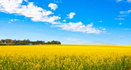 Canola field in panorama view, Perth Australia  photo