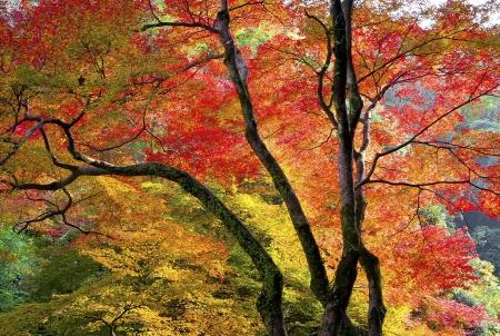 Осенние листья клена в Осаке, Япония Фото со стока