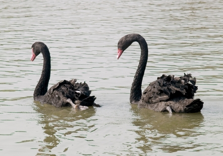dabbling: Couple black swans swimming in the lake  Stock Photo