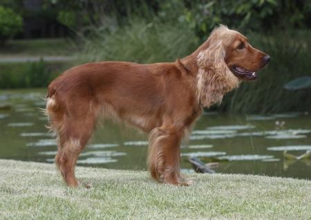 springer: Welsh springer spaniel a pretty dog standing on the grass field