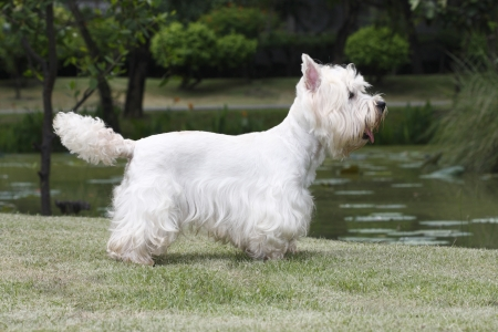 Cute west highland white terrier standing on grass field  photo