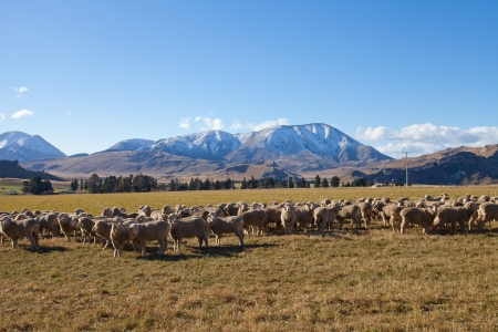 Husbandry sheep farmland in Canterbury region Southern Alps Mountain valleys New Zealand photo