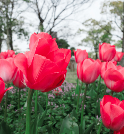 Red tulips blossoming in the center of memorial park in spring, Hiroshima Japan photo