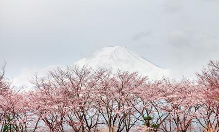 Mt fuji and pink cherry blossom tree in spring Kawaguchi lake, Japan photo