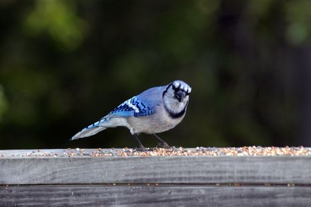 feeder: Blue Bird at the feeder Stock Photo