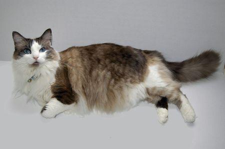 housecat: Housecat Stock Photo