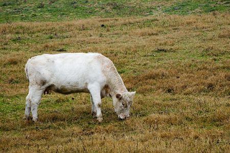 A white cow feeding on grass in the rain