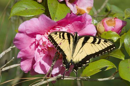 ツツジの花と蝶