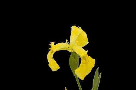 Yellow Iris Imagens