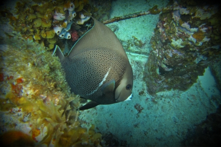 Tropical angel fish in the Caribbean