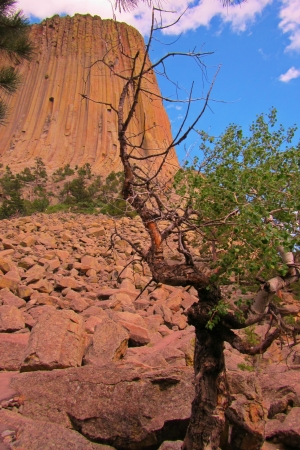 ponderosa pine: Beautiful tree filled with character and animation with Devil s Tower in the background