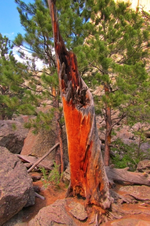 encounters:  A tree that had been struck by lightning at Devil s Tower in Wyoming  Despite its destruction what remains of it is quite beautiful, Stock Photo