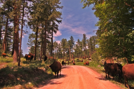 Buffalo along the sides of the road in South Dakota