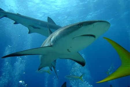 A closeup of a shark going past me during a scuba dive