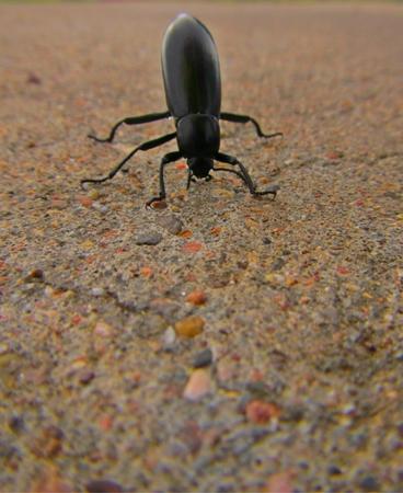 Beetle standing on its head