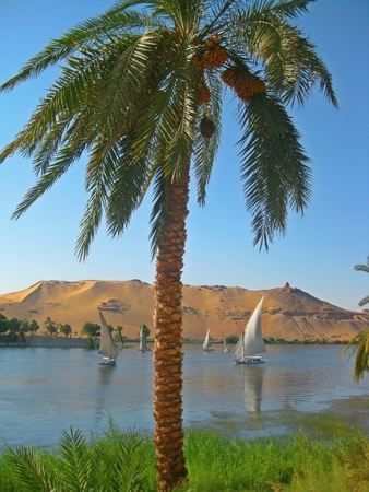 nile river: Egyptian Palm tree with Feluccas sailing on the Nile River with desert sand in the background Stock Photo