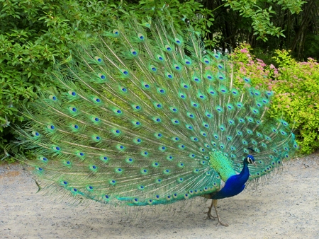 plummage: Peacock hermoso Foto de archivo