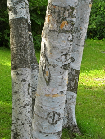 natureal: Birch bark details Stock Photo