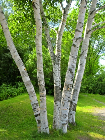 natureal: Birch Trees