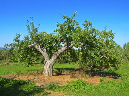 Apfelbaum in Nova Scotia Standard-Bild - 45660209