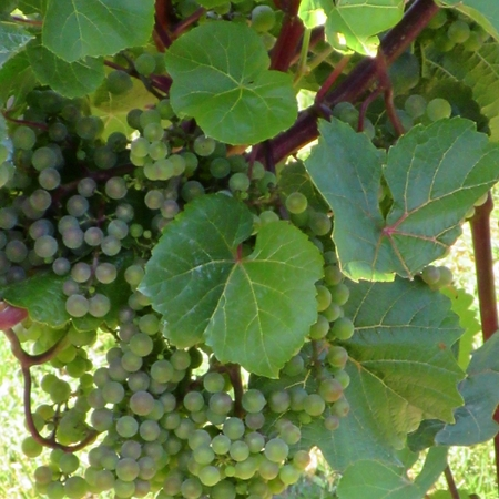 lose up: Lose up of grapes on the vine
