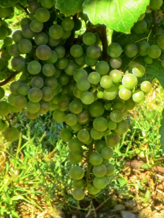 growers: Grapes on the vine