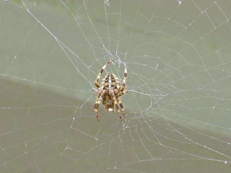 predatory insect: Spider in its web