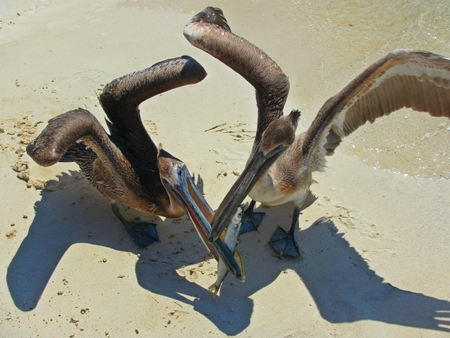Pelicans on beach fighting over a fish.