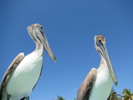 Two pelicans appear to be engaged in communicating with each other. Banco de Imagens