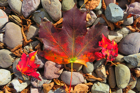 Beautiful Maple leaf on a background of rocks.